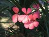 hidden geranium