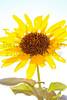 Sunflower Comanche National Grassland, Otero County, Colorado.