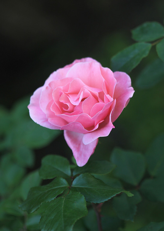 Roses, my favorite are pink