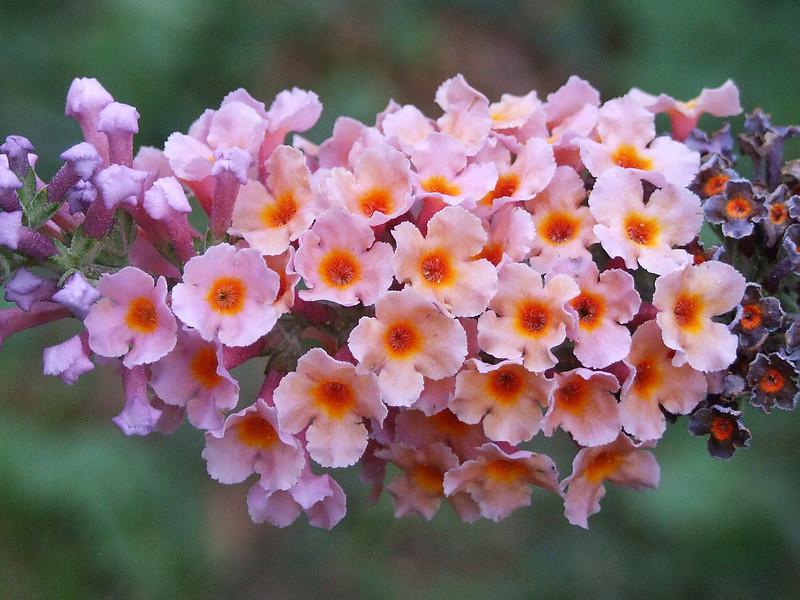 Multi-colored Butterfly Bush Blossom