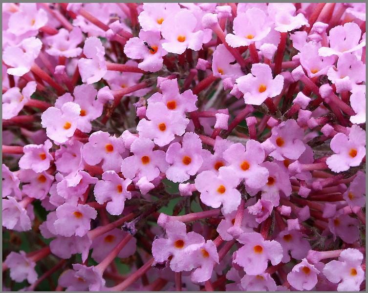 Pink Butterfly Bush Blossom