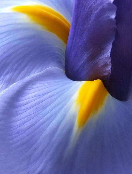 An early spring Iris.