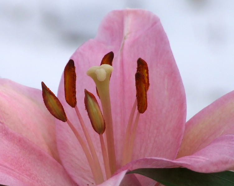 Pink Lilly against Feburary snow