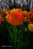 Longwood Gardens Tulip Festival 2018