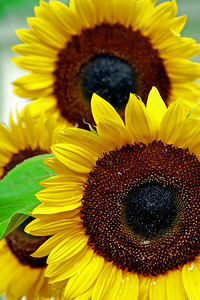 2008_08_08 Sunflower05