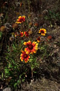 2008_08_30 Wildflower