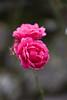 pink rose in france