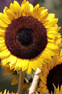 2008_08_08 Sunflower03