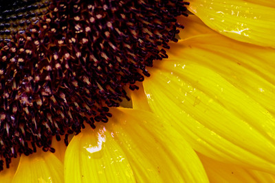 2008_08_08 Sunflower04