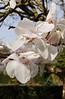 Cornwall 2010<br /> <br /> magnolia