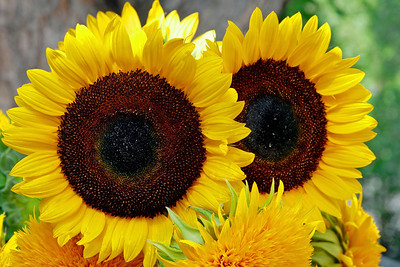 2008_08_08 Sunflower02
