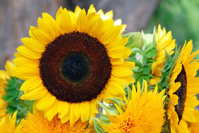 2008_08_08 Sunflower01