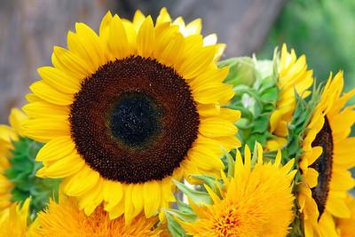 2008_08_08 Sunflower01