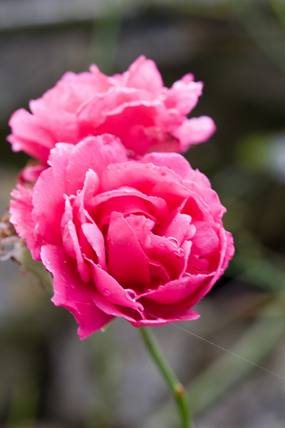 another pink rose