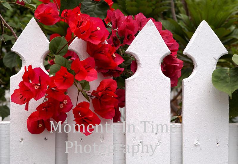 Red blossom and fence