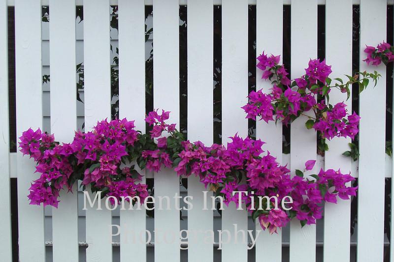 Purple bogenvilla picket fence 2