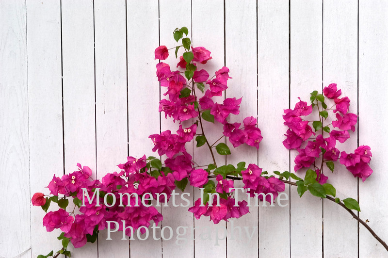 Key West fence with bogenvilla