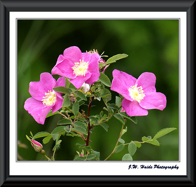 Wild Roses at the Tualatin River National Wildlife Refuge near Sherwood, Oregon