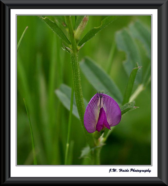 Tiny Purple flower at the Tualatin Wildlife Refuge near Sherwood, Oregon
