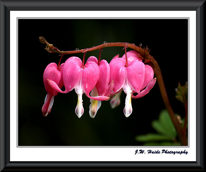 Bleeding Hearts at Jenkins Estate, Aloha, Oregon