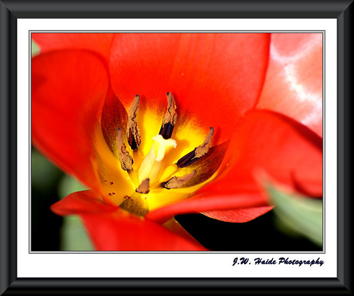 Red tulip Hillsboro, Oregon