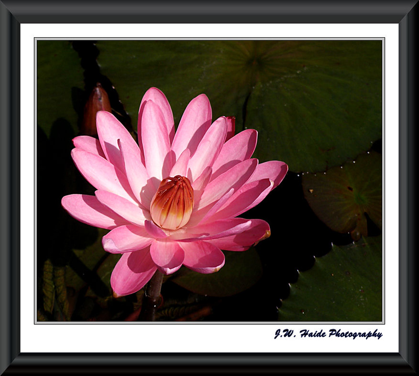 Water Lily at Hughe's Water Gardens in Tualatin, Oregon