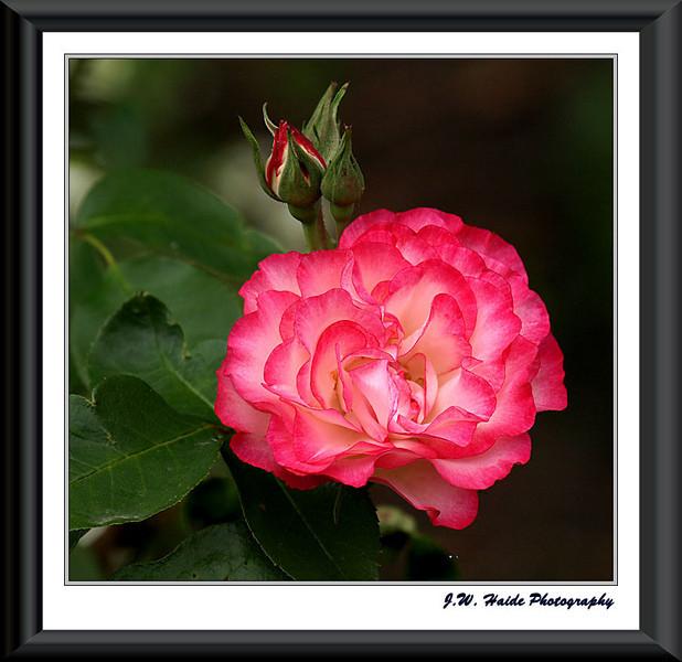 Rose and Bud on Washington County Courthouse grounds in Hillsboro, Oregon