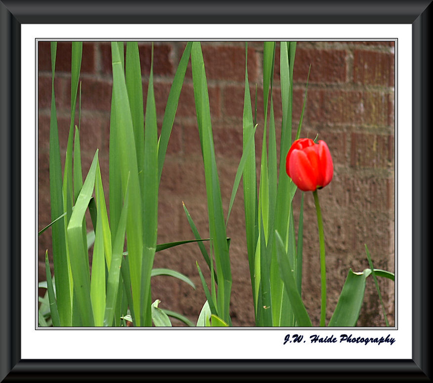 Lone red Tulip Hillsboro Oregon