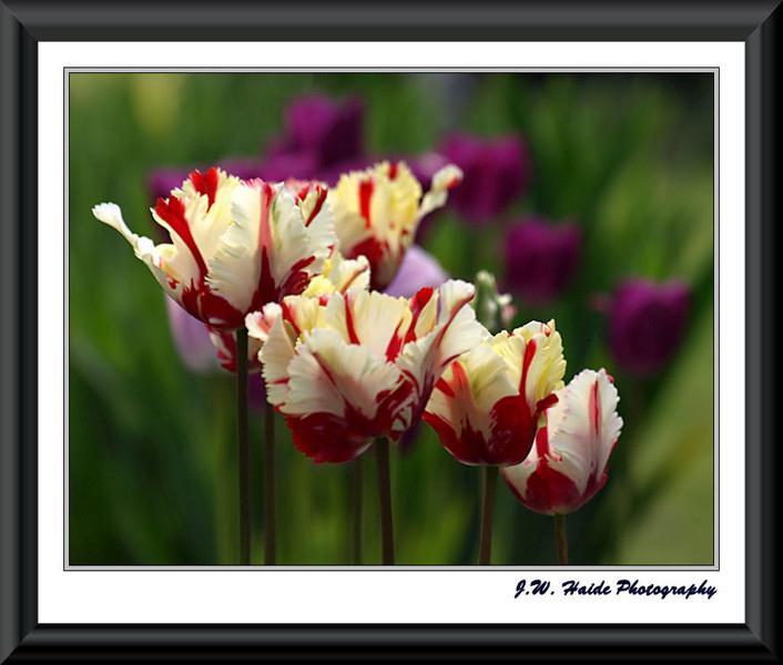 Tulips on Tulips - Along NE Jackson Street in Hillsboro, Oregon