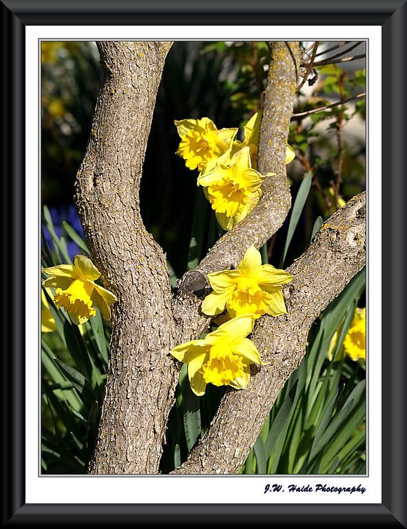 Yellow daffodils and tree in Hillsboro, Oregon
