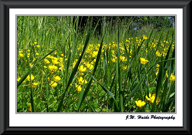 Field of Buttercups in the Tualatin River National Wildlife Refuge near Sherwood, Oregon