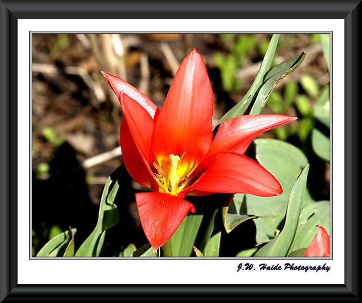 Red tulip Hillsboro, Oregon