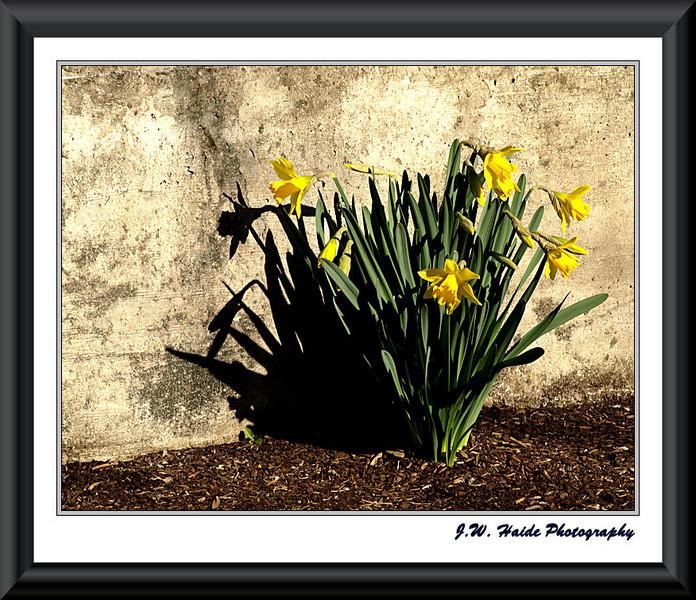 Yellow daffodills in Hillsboro, Oregon