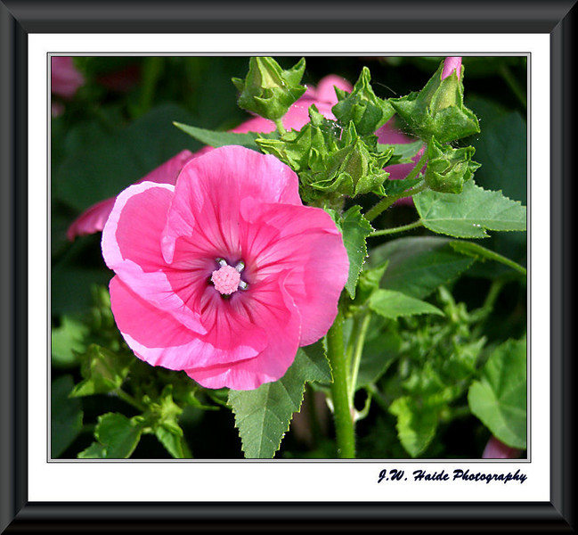 Pink Lavatera flower in my yard in Hillsboro, Oregon