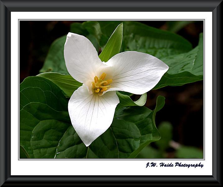 White Trillium in Rood Bridge Park, Hillsboro, Oregon