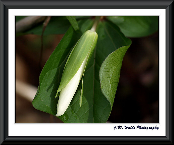 White Trillium bud in Rood Bridge Park, Hillsboro, Oregon