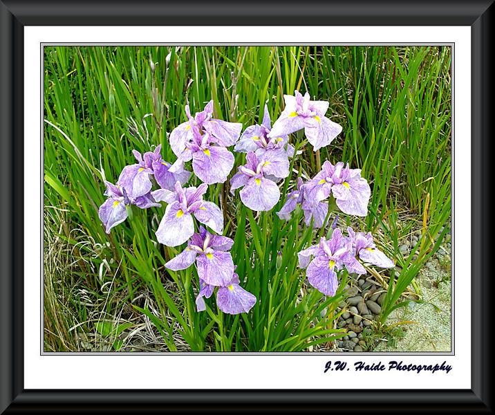 Iris at Oregon Garden
