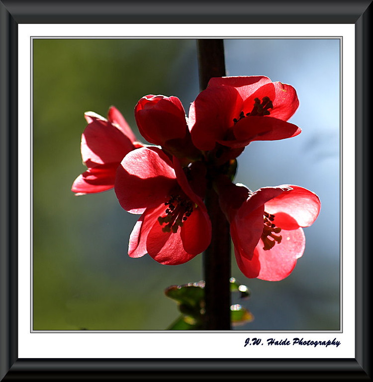 Quince blossom along street in Hillsboro, Oregon