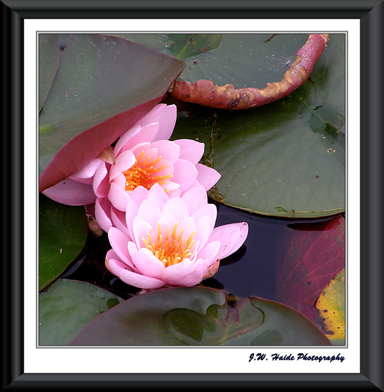 Water Lily at Oregon Garden
