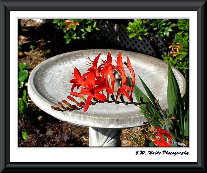 Red crocosmius and bird bath in my yard in Hillsboro, Oregon