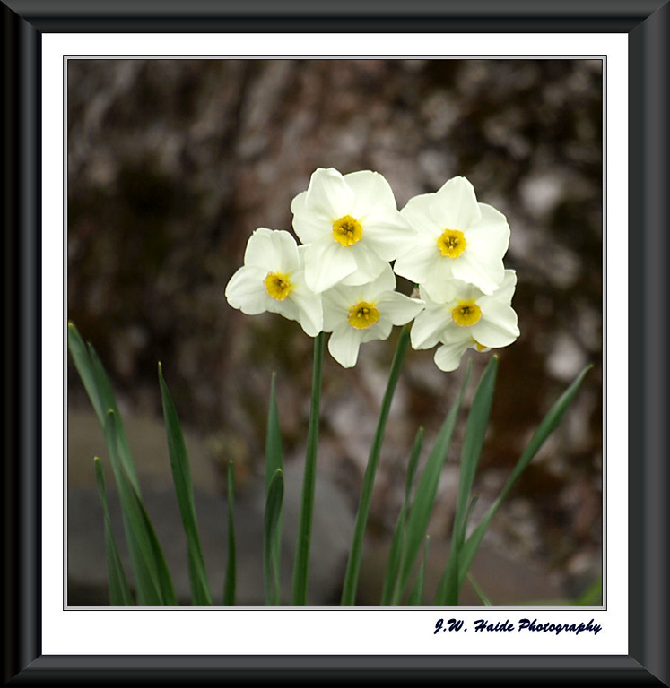 White Jonquills in Hillsboro, Oregon