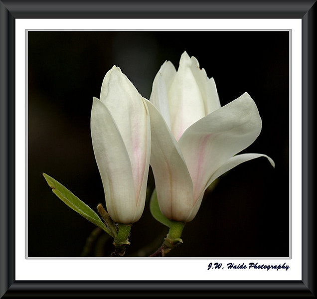 White magnolia blossoms in Hillsboro, OR