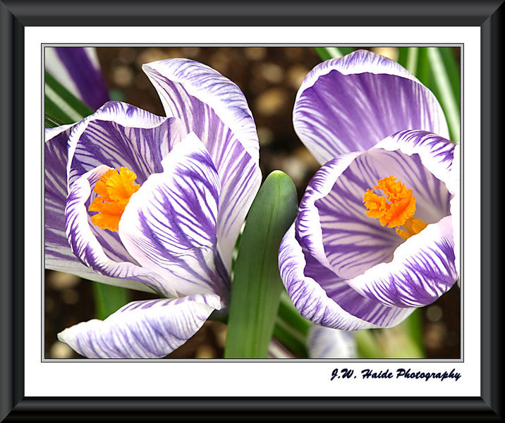 Crocus in my yard in Hillsboro, Oregon