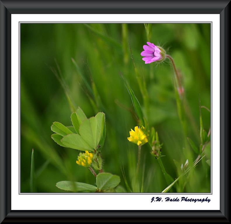 Tiny flowers at the Tualatin Wildlife Refuge near Sherwood, Oregon