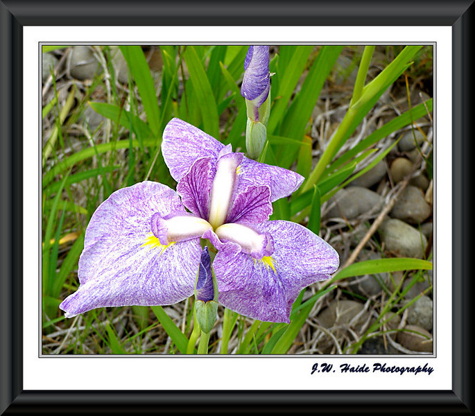 Iris at Oregon Garden