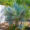 Brahea armata - Mexican Blue Palm (ver rare)