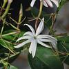 angel-wing jasmine - jasminum nitidum