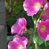 alcea rosea - Malvaceae