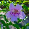 Pandorea jasminoides - Bower plant