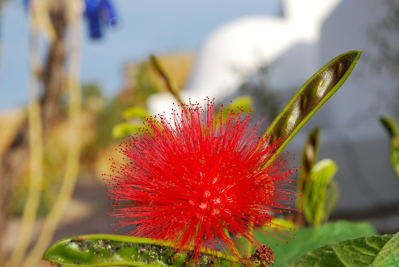 this red fairy duster is an absolute knockout - saw it 10 years ago in a garden in La Paz and wanted it ever since. Found it recently in a no name nursery. Calliandra haematocephala